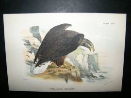 Allen 1890's Antique Bird Print. White-Tailed Sea-Eagle